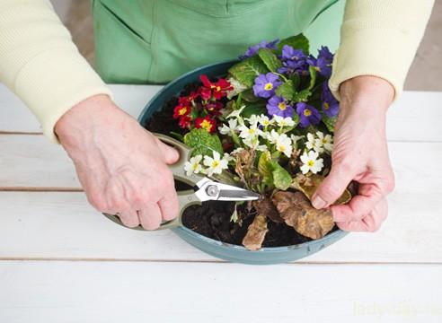 Выгонка примулы. Очистка растений.