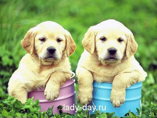 Желтая собака