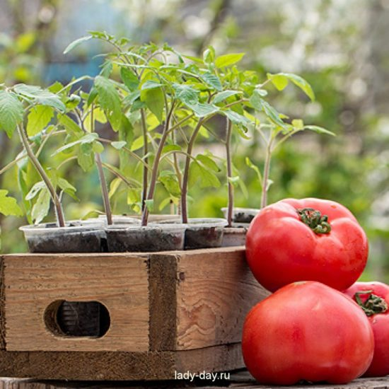 kogda-seyat-tomaty-narassadu-1024x1024