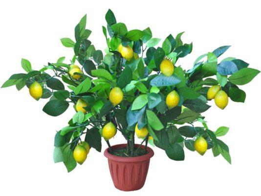 лимон в вазоне