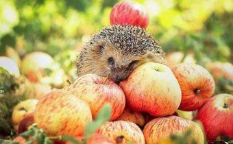 ежик с яблоками